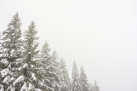 Snowy and frozen firs in a foggy atmosphere with a large and clear copy space.
