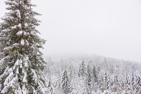 A snowy and icy pine forest during a foggy day of winter in the Vosges mountains, France.