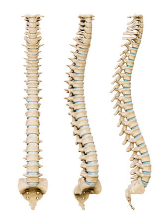 Human spinal column or backbone from various angles isolated on a white background. Medical and scientific anatomy 3D render illustration. Standard-Bild