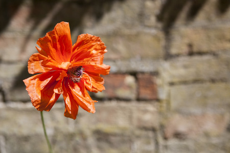 hayfever: Single red poppy with wall behind.