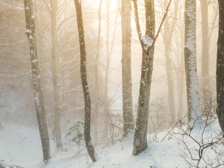Hiver hêtre brumeux sur une forêt grande cene