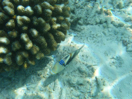 A trigger fish next to coral photo