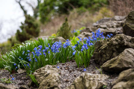 Small spring bluebells in a garden rockery. UK wildflowers in springtime Stock Photo