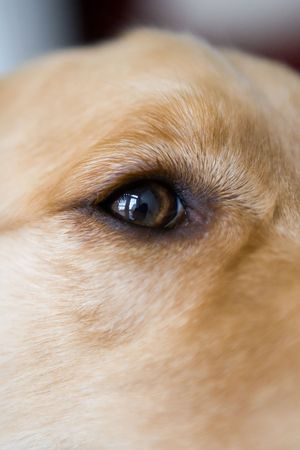 eye socket: Golden Retriever Eye socket detail