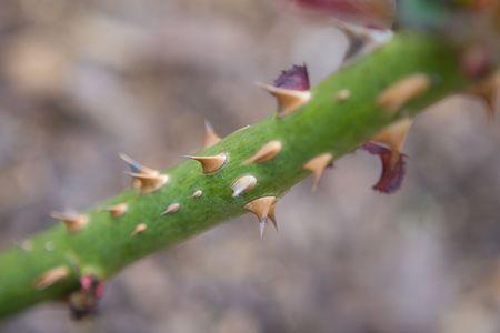 Thorny rose bush stem showing detailed thorns photo