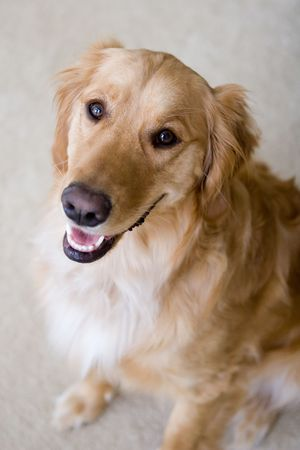 Golden Retriever body profile from a high angle photo