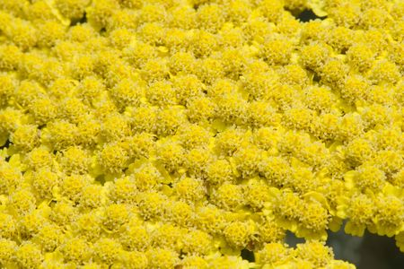 bunched: Bright yellow blooming flowers tightly bunched Stock Photo