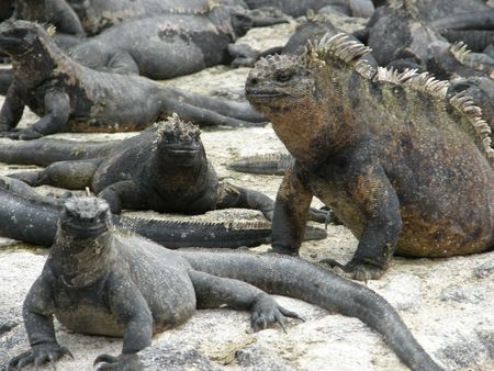 Marine Iguanas photo