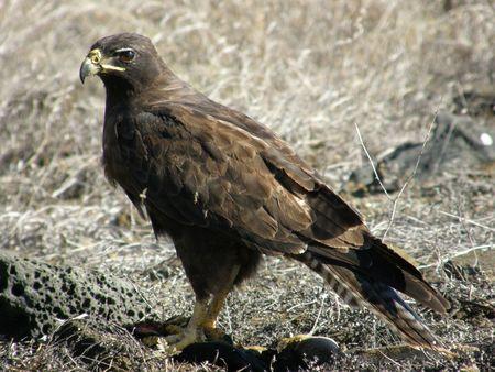 galapagos: Galapagos Hawk Feeding