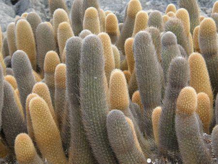 Lava Cacti, Galapagos Islands Stock Photo - 2592949