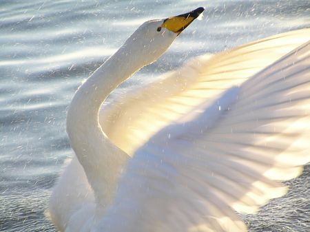 Whooper Swan Flapping