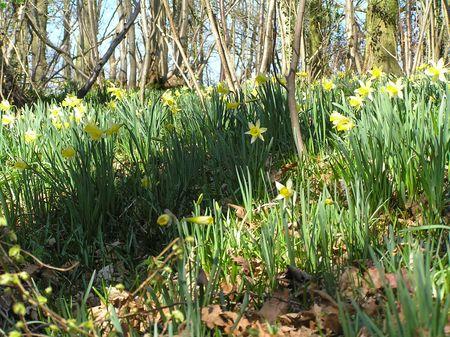 dean lake: Wild Daffodils