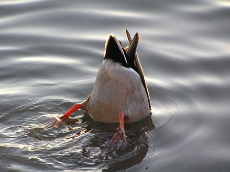 Duck Stock Photo - 2643295