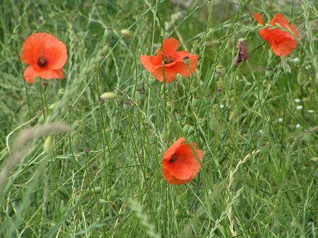 dean lake: Poppies
