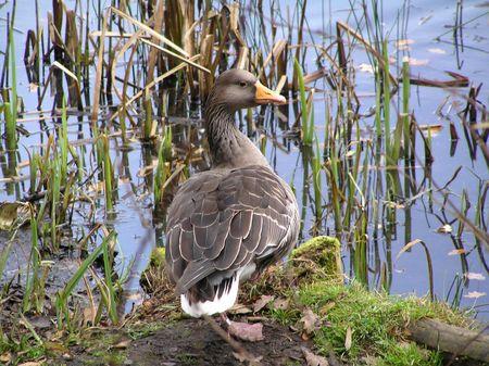 dean lake: Greylag Goose