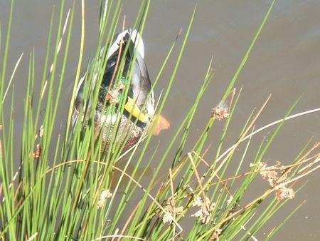 dean lake: Mallard Duck Hiding Stock Photo