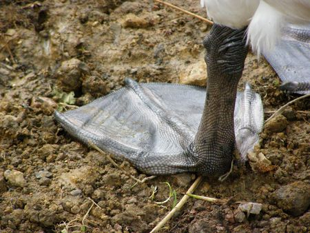 webbed: Mute Swans Webbed Foot Stock Photo