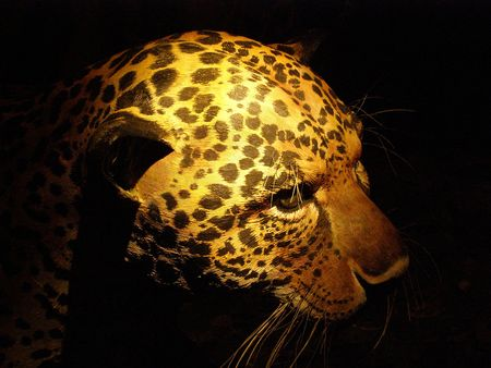 Charming Model Of Jaguar, San Jose, Costa Rica Stock Photo   2902327