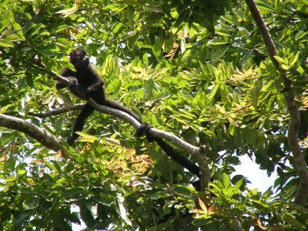 howler: Howler Monkeys, Costa Rica