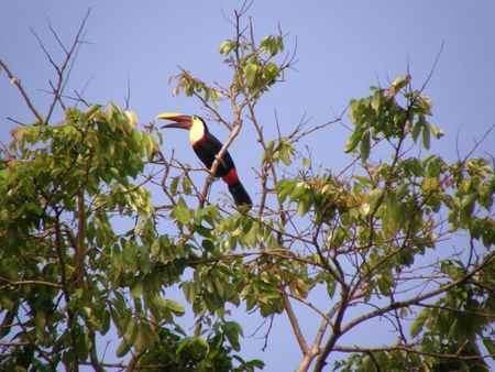 canal parade: Chestnut mandibled Toucan, Costa Rica