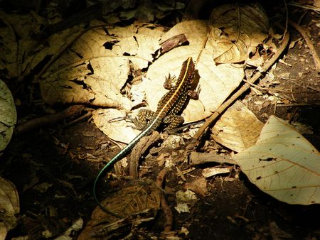 canal parade: Central American Whiptail Lizard, Costa Rica Stock Photo