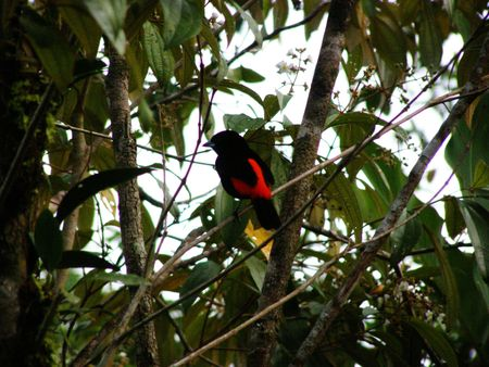 howler: Passerinis Tanager, Costa Rica