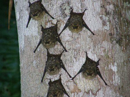 Lungo naso pipistrelli, Costa Rica