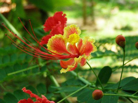 Glorioso fiore, Costa Rica  Archivio Fotografico