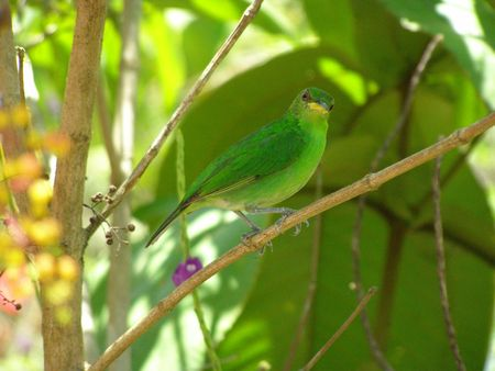 canal parade: Green Honeycreeper, Costa Rica