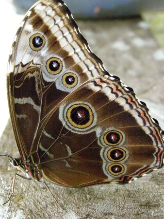howler: Blue Morpho Butterfly, Costa Rica Stock Photo