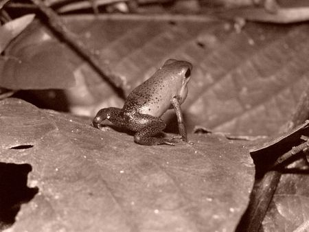 Blue Jeans Dart Frog, Costa Rica photo