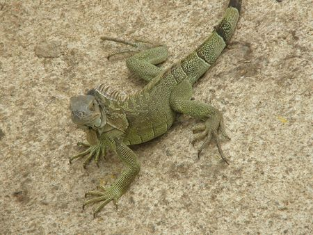Green Iguana, Costa Rica Stock Photo - 2892260