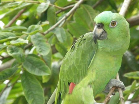 Mealy Parrot, Costa Rica photo