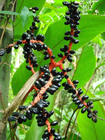 howler: Coffee Beans on Plant, Costa Rica