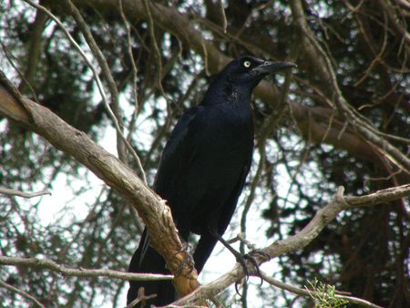 canal parade: Great Tailed Grackle, Monteverde Cloud Forest, Costa Rica Stock Photo