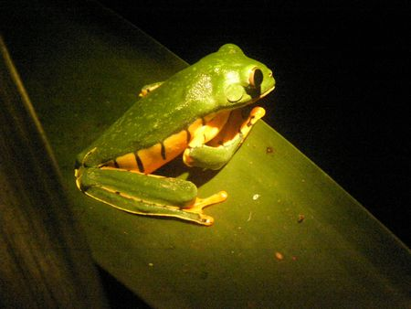 Tree Frog, Monteverde Cloud Forest, Costa Rica at night Tiger loepard frog Stock Photo