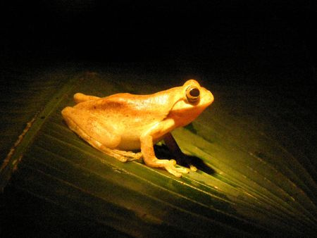 Tree Frog, Monteverde Cloud Forest, Costa Rica at night photo