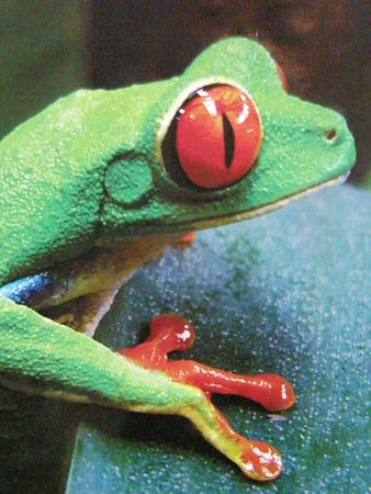 green tree frog: Green Tree Frog, Monteverde Cloud Forest, Costa Rica Stock Photo