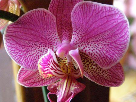 Fiore Del Orchid, Costa Rica Archivio Fotografico
