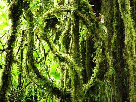 Moss a Vite, Monteverde, Costa Rica  Archivio Fotografico