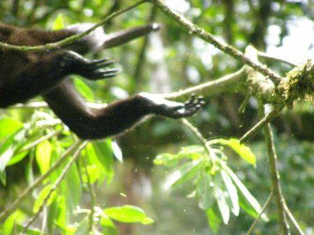 howler: Howler Monkey - off he goes, Monteverde, Costa Rica