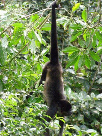howler: Howler Monkey, Monteverde, Costa Rica Stock Photo