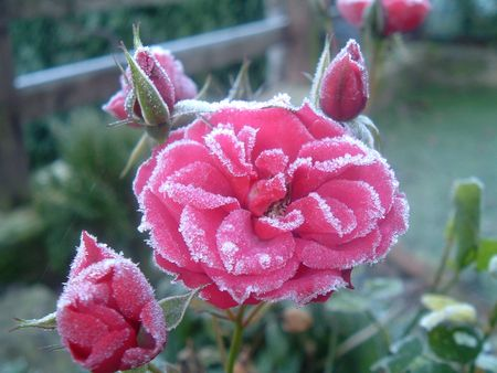 Frost on a pink rose in December Stock Photo - 2930374