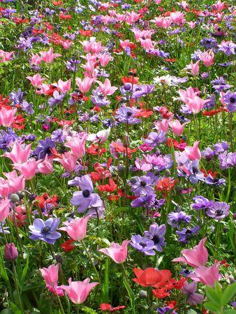 cottage garden: Anemones