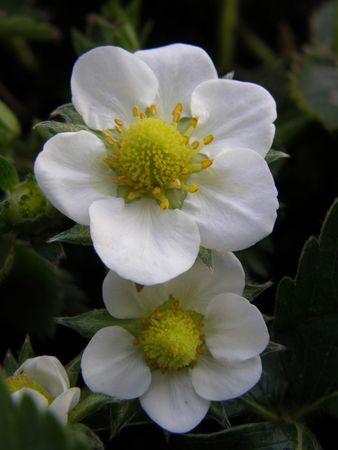Flowers on a Srawberry Plant