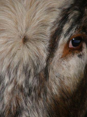 longhorn cattle: Longhorn Cattle  Foto de archivo