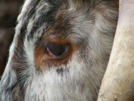 longhorn cattle: Ganado Longhorn