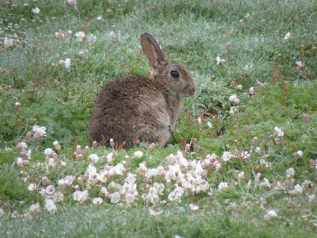 skomer island: Rabbit in spring flowers on Skomer Island Stock Photo
