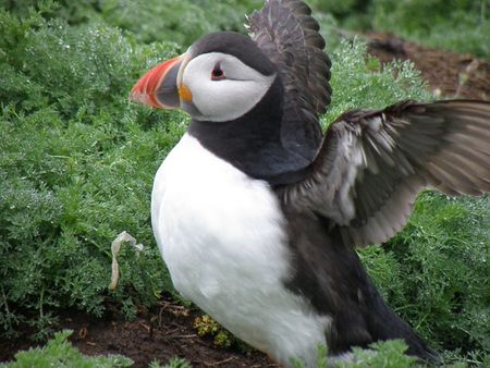 skomer island: Puffin on Skomer Island