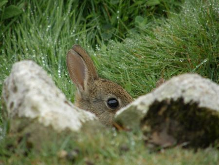 Rabbit hiding behind rocks Stock Photo - 3076546